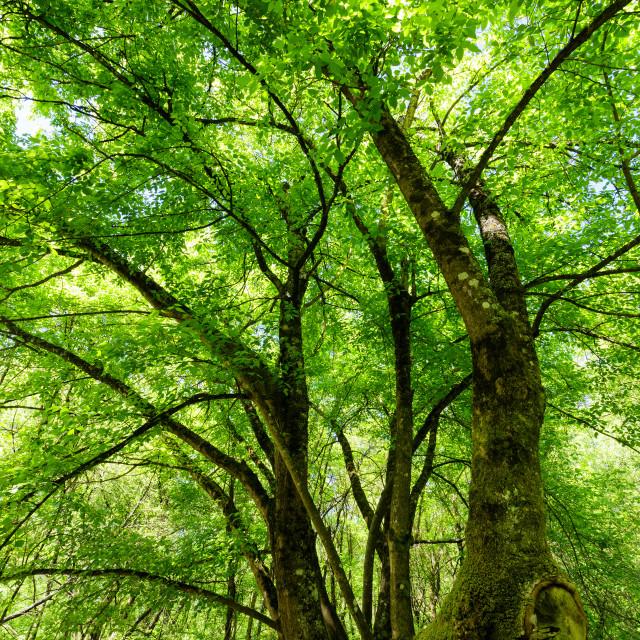 """""""Maple tree at springtime"""" stock image"""