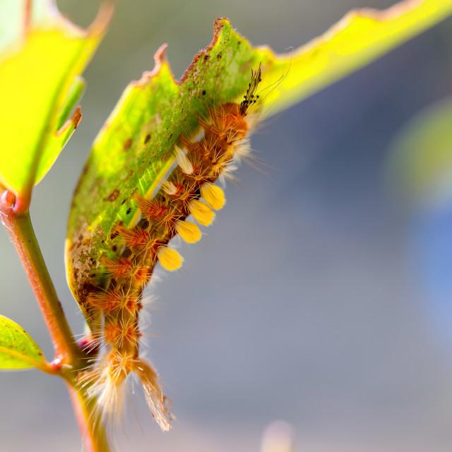 """Strange hairy caterpillar"" stock image"