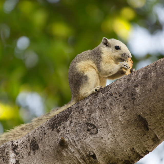 """Variable squirrel"" stock image"