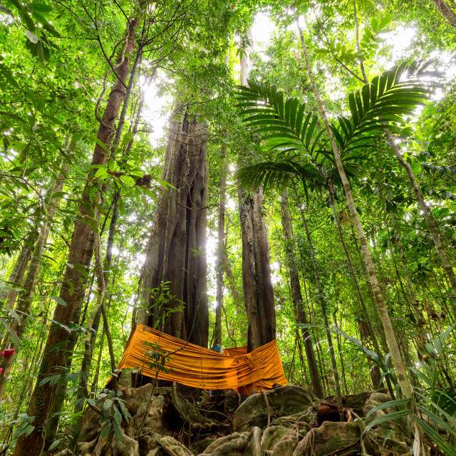 """Huge tropical tree in rainforest"" stock image"