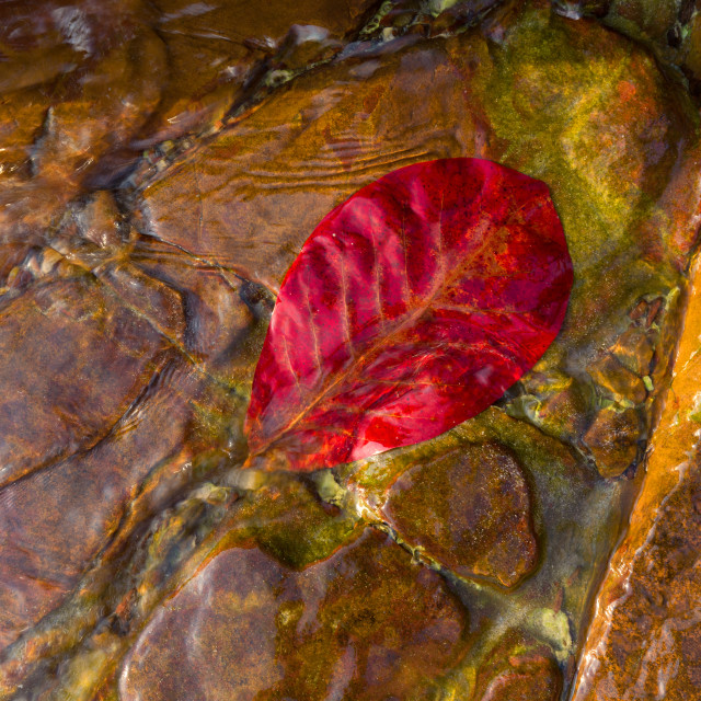 """Red leave in the sea water"" stock image"