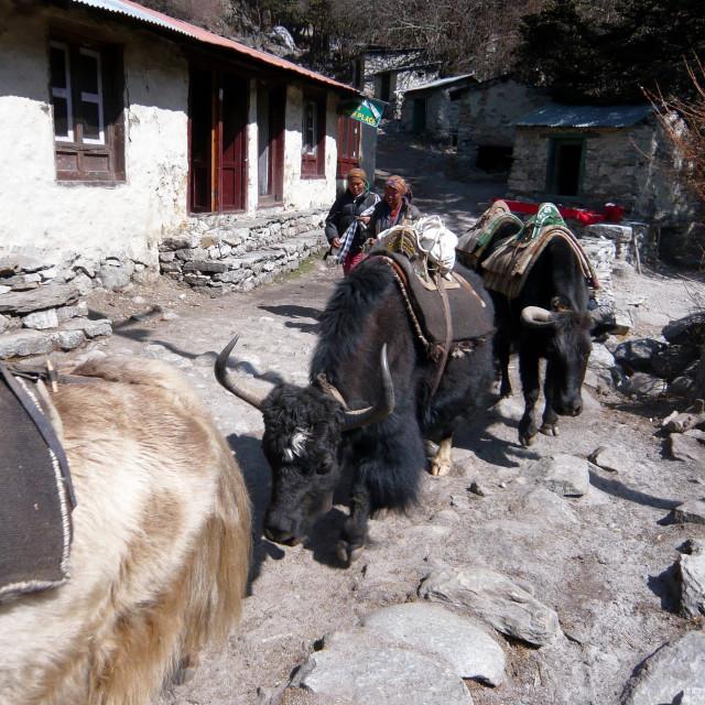 """yaks, Himalaya, Nepal"" stock image"