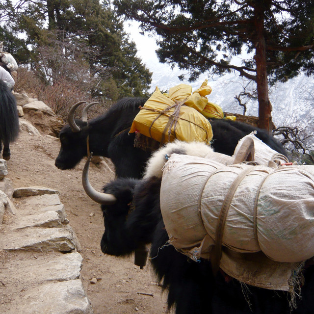 """Yaks on mountain trail, Nepal"" stock image"