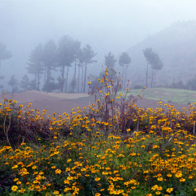 """""""Marigolds, Himalaya, Nepal"""" stock image"""