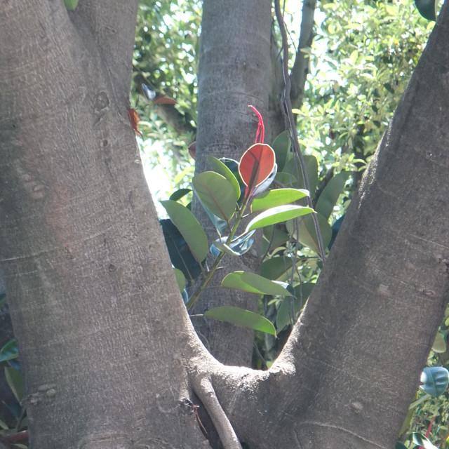 """Rubber Tree Of Cádiz"" stock image"