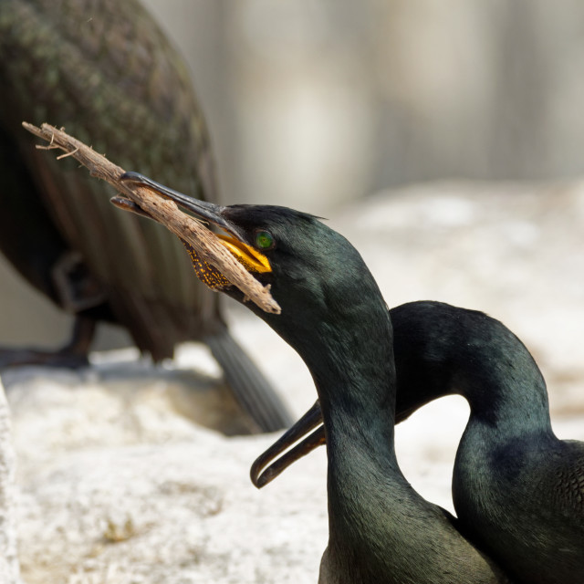 """Shag with Stick"" stock image"