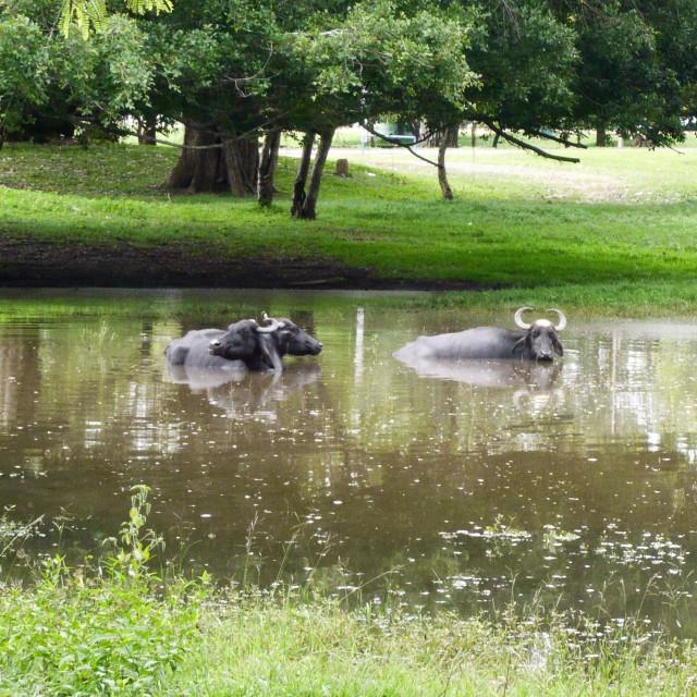 """Water buffaloes"" stock image"