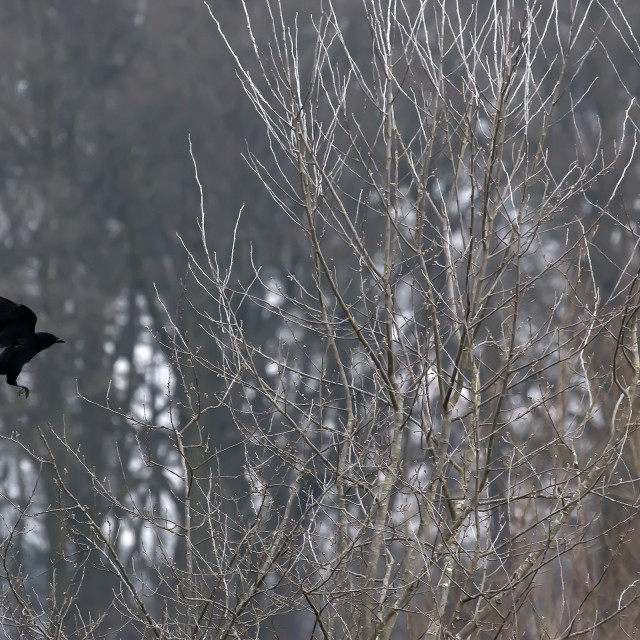 """Crow in Flight."" stock image"