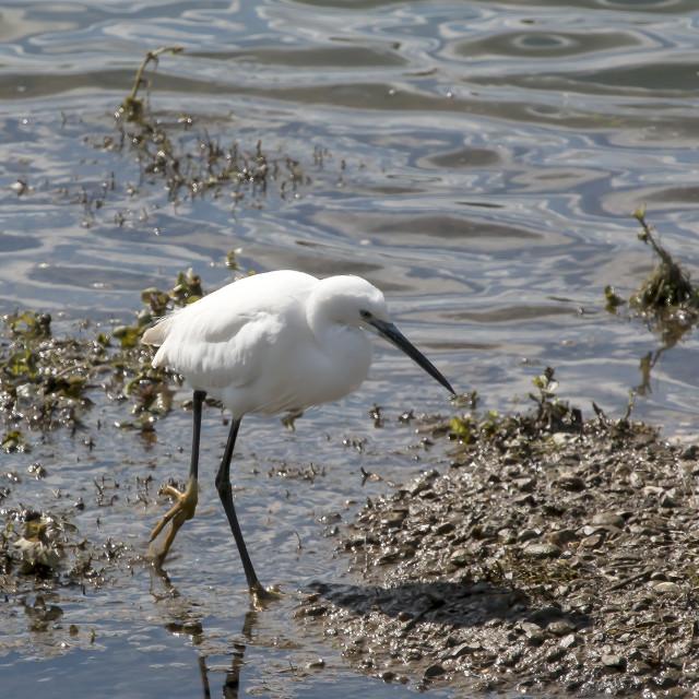 """""""Little Egret."""" stock image"""