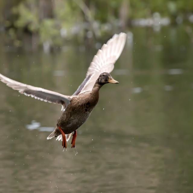 """A Duck in Flight 2"" stock image"