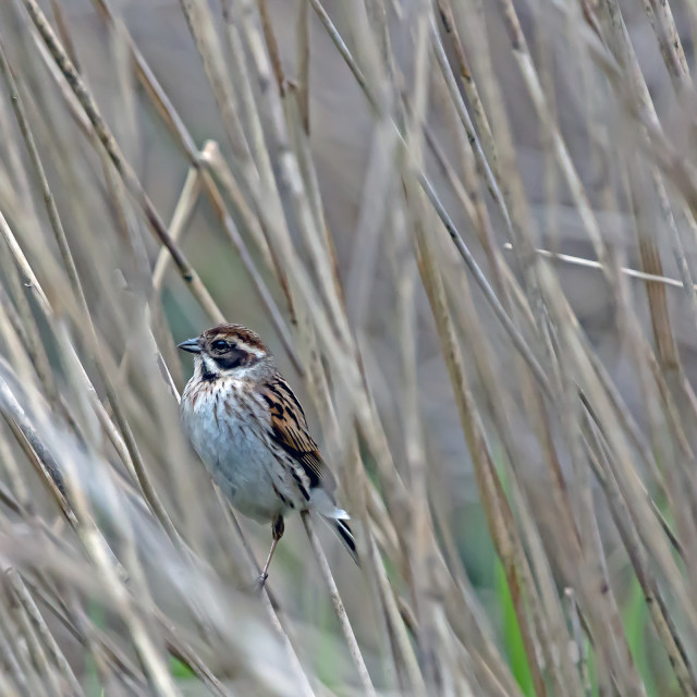 """Reed Bunting Young in Reeds."" stock image"