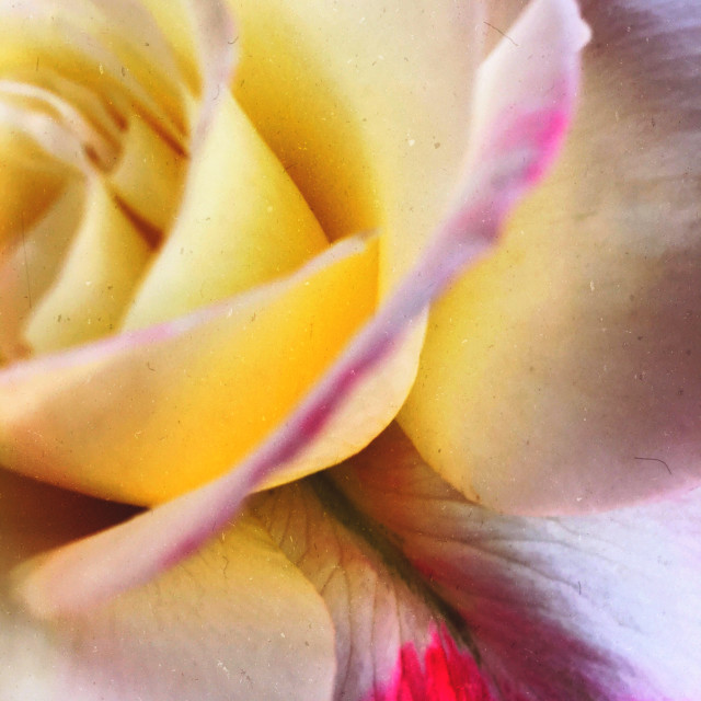 """""""A rose can be yellow"""" stock image"""