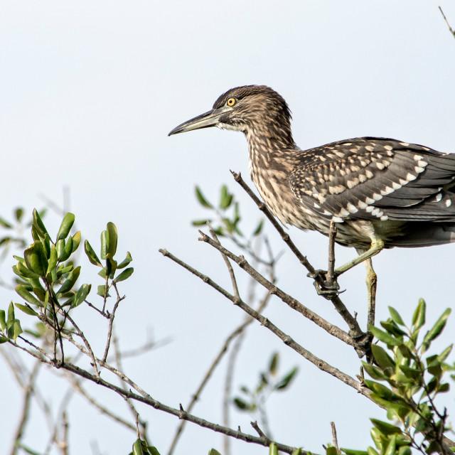 """""""Black Crowned Night Heron Juvenile (I)"""" stock image"""