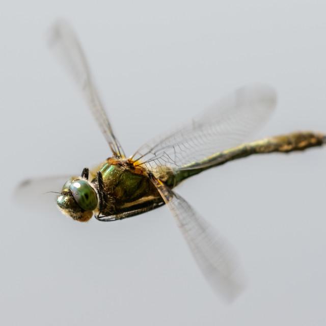 """Downy Emerald (Cordulia aenea)"" stock image"