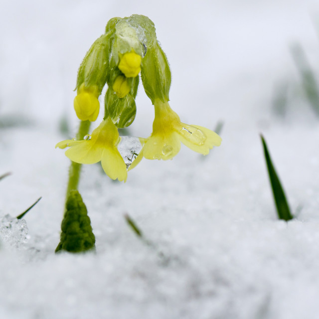 """Cowslip in the snow."" stock image"