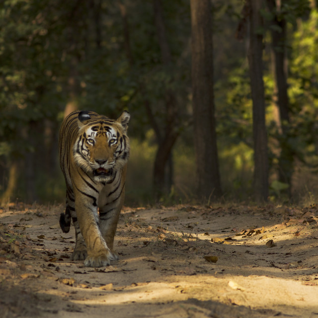 """Male tiger in forest"" stock image"