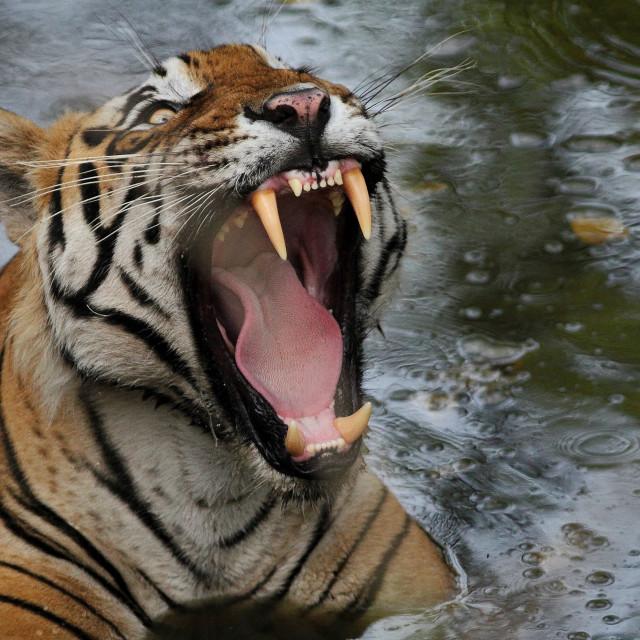 """angry tiger"" stock image"
