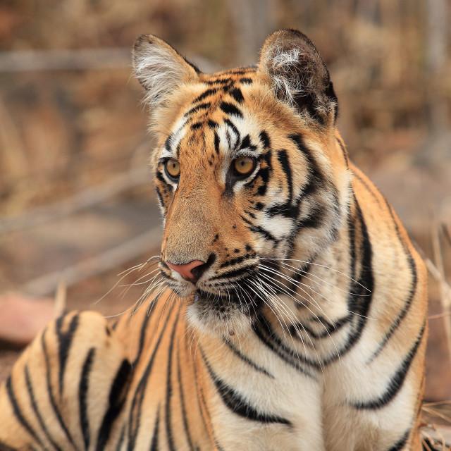 """tiger cub"" stock image"