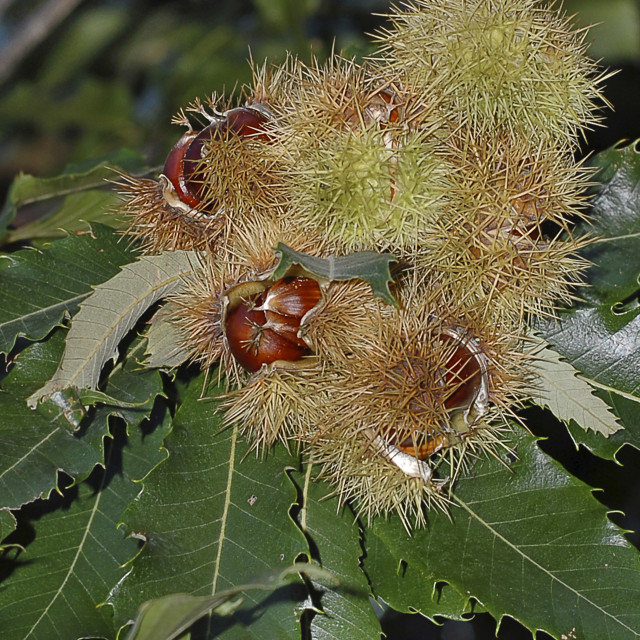 """""""chestnuts on its own tree"""" stock image"""