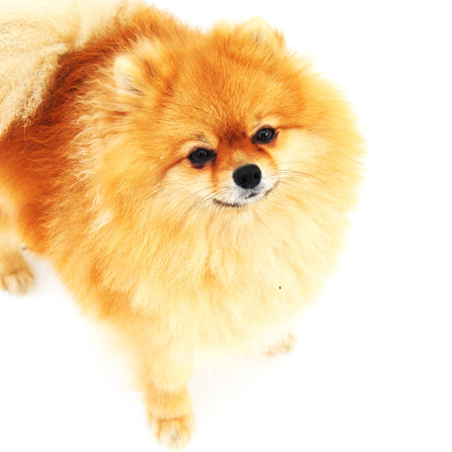 """Pomeranian Spitz with ginger fur on white background"" stock image"