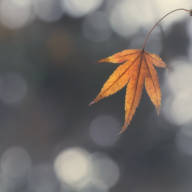 """Winter Maple Leaf"" stock image"