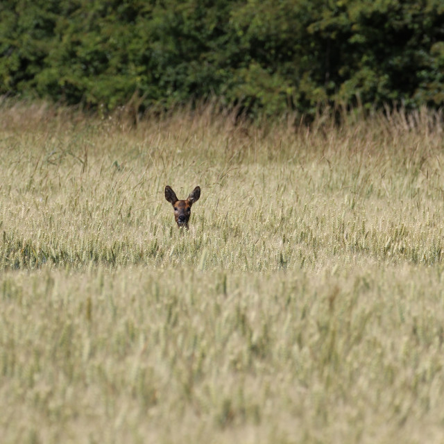 """Roe Deer in Bearded Wheat"" stock image"