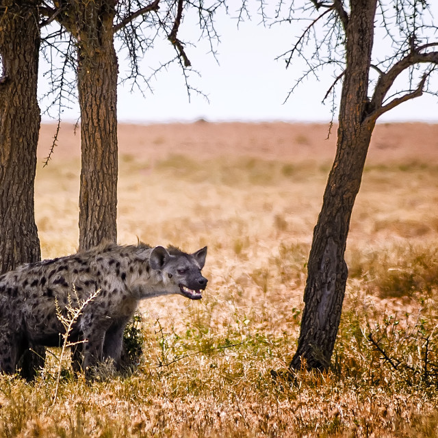 """Spotted hyaena"" stock image"