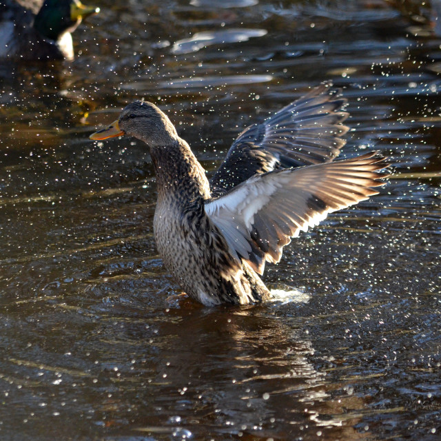 """Duck Flapping his Wings 0647"" stock image"