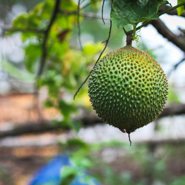 """Green Baby Jackfruits"" stock image"