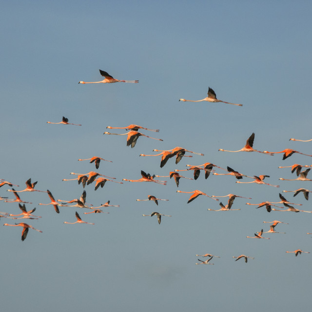 """Flock of flamingoes"" stock image"