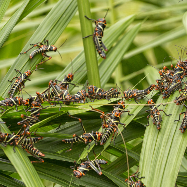 """Collared Lubber Grasshoppers"" stock image"