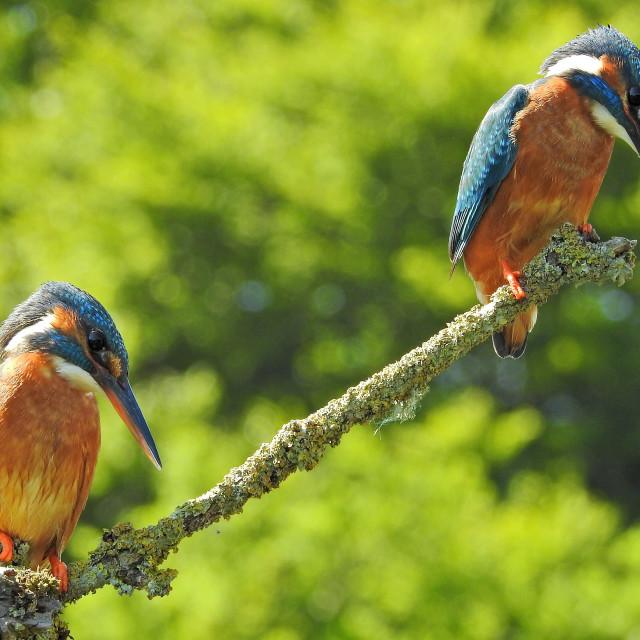 """Pair of Kingfishers"" stock image"