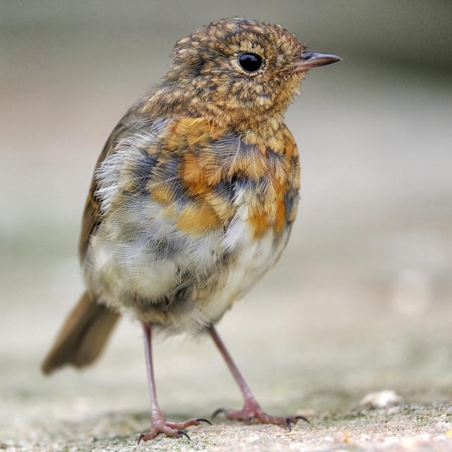 """Juvenile Robin"" stock image"
