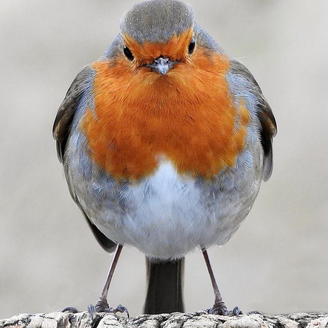 """Robin with attitude"" stock image"