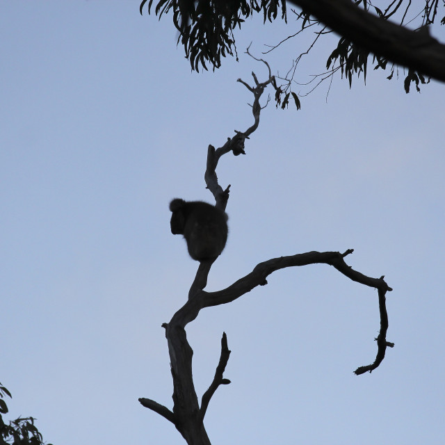 """Perching Koala Joey"" stock image"