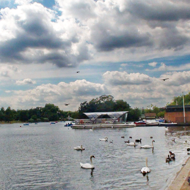 """""""birds and swans in the park"""" stock image"""