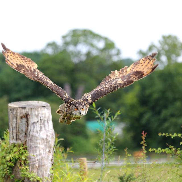 """Turkmenian Eagle Owl"" stock image"