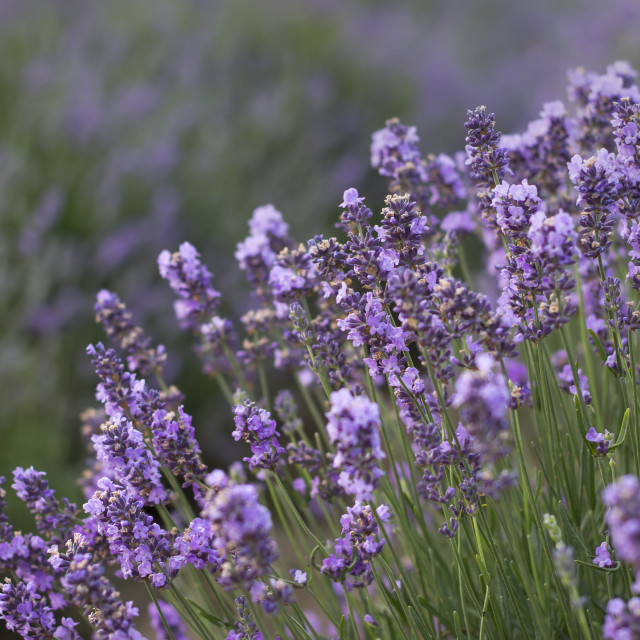 """Beauty violet lavender"" stock image"
