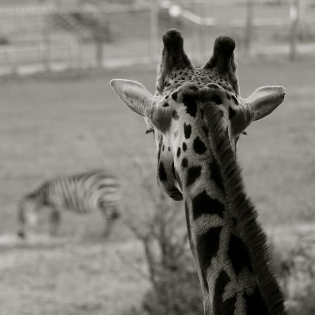 """Giraffe Zoo Perspective"" stock image"
