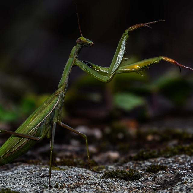 """Preying Mantis"" stock image"