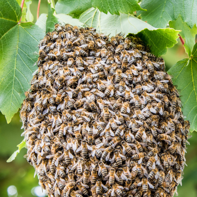 """""""Huddling Bees"""" stock image"""