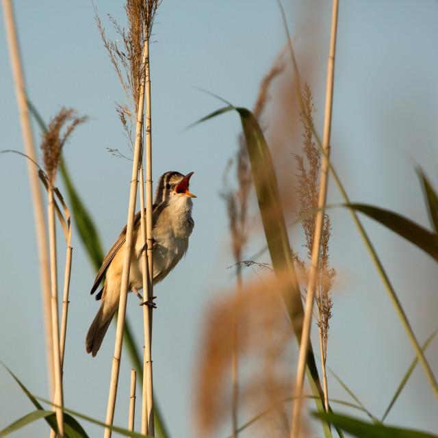 """""""Singing Great reed-warbler (Acrocephalus arundinaceus)"""" stock image"""