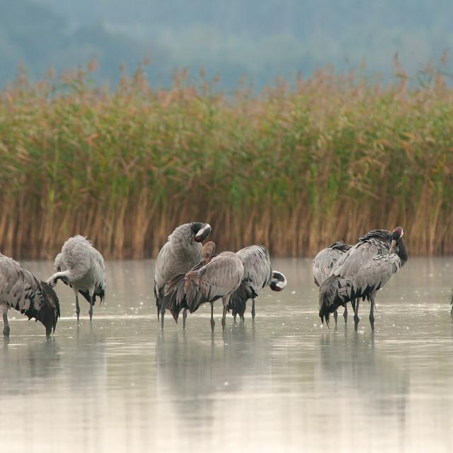 """Cranes (Grus grus) on a lake at dawn"" stock image"