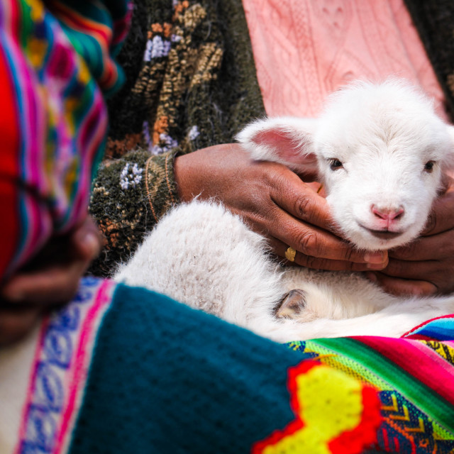"""""""Baby alpaca"""" stock image"""