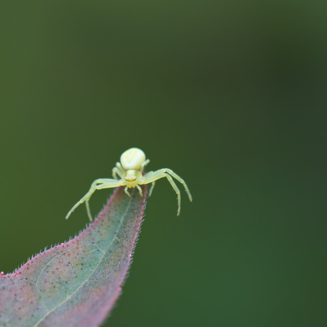 """Crab spider"" stock image"