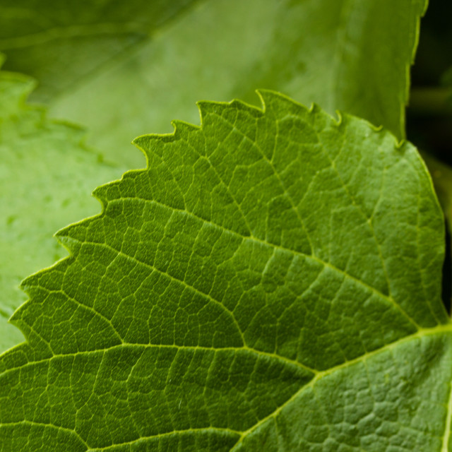 """Mulberry leaf layers"" stock image"