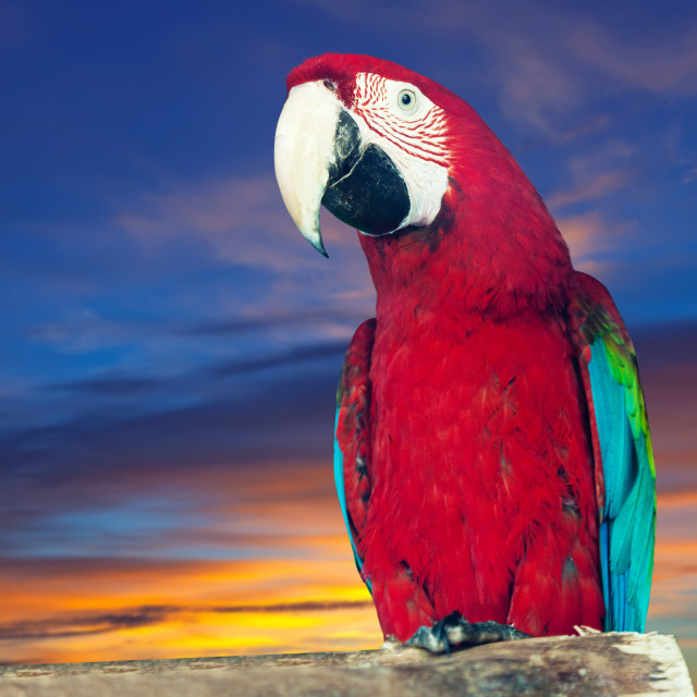 """""""macaw papagay against dawn"""" stock image"""