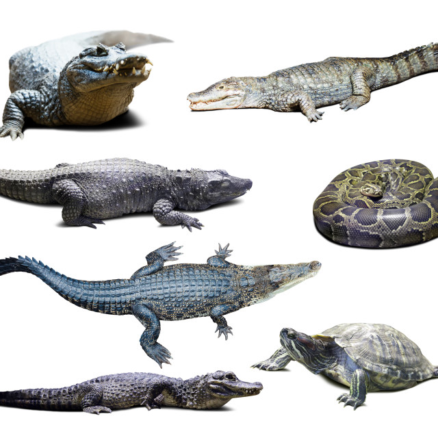 """""""reptiles over white with shade"""" stock image"""