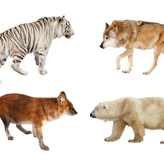 """Carnivora mammals. Isolated over white"" stock image"
