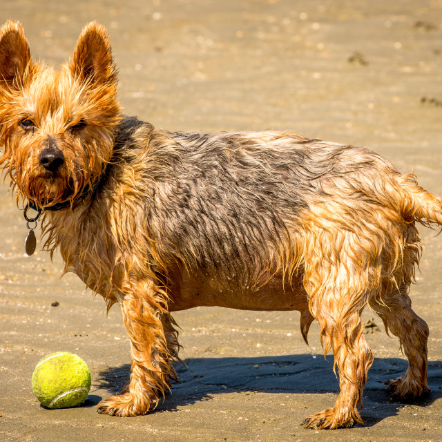 """terrier on a beach with ball"" stock image"
